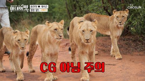 철창 없음 ʘ̥_ʘ 희쓴 '야생 사자'랑 황천길 산책