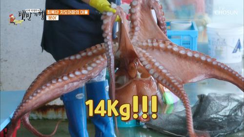 14kg 중문어!! 최고 50kg까지 나오는 고성 문어🐙