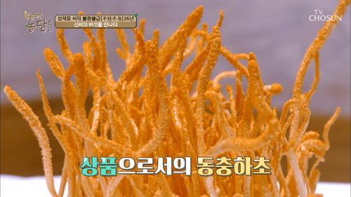 '현미'를 이용한 동충하초 만들어지는 과정 공개!
