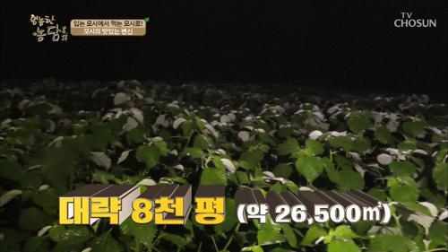 꼭두새벽부터 모싯잎 수확에 한창이다?