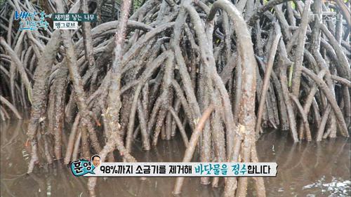 새끼를 낳는 나무 '맹그로브'