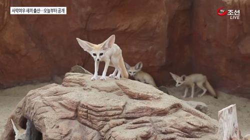 '국립생태원 경사났네' 멸종위기 사막여우 출산