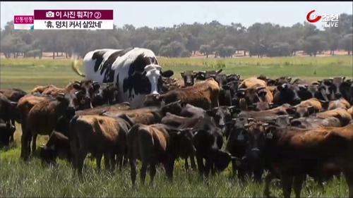 """""""휴, 덩치 커서 살았네""""…호주에서 가장 큰 소 '눈길'"""