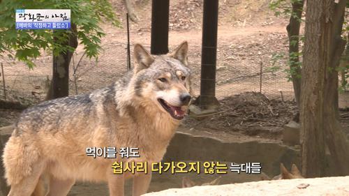 늑대우리에 제 발로 들어간 에바!