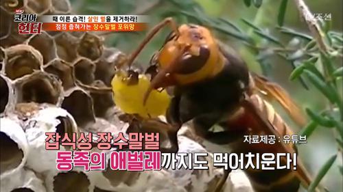 동족의 애벌레까지 먹는 장수말벌!