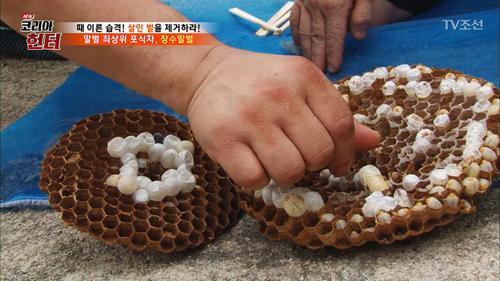 장수말벌 애벌레를 사탕처럼 먹는다!