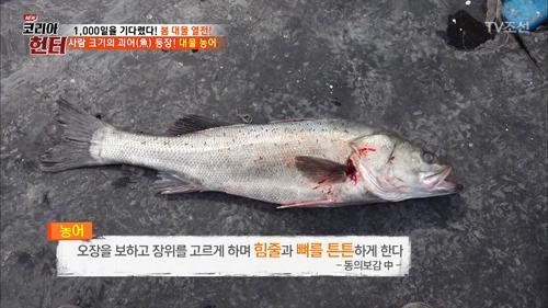 사람 크기의 괴어! 대물 농어의 비밀은?