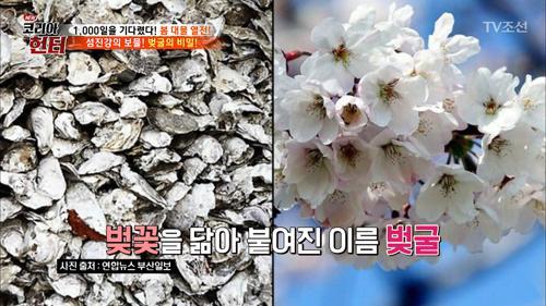 [봄바람 휘날리며~] 벚굴의 비밀은?
